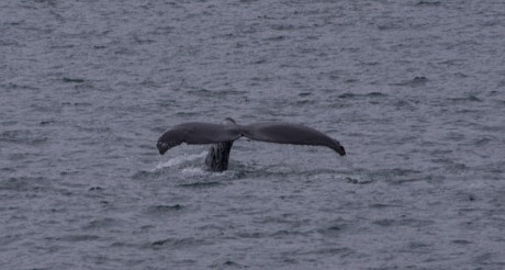 Humpback Whale Tail 460x246 Humpback Whale Tail